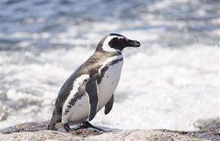 Penguin Of Magellan