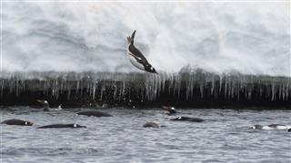 Gentoo Penguin Jump In Water
