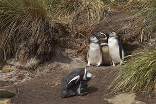 Magellanic Penguin Chicks