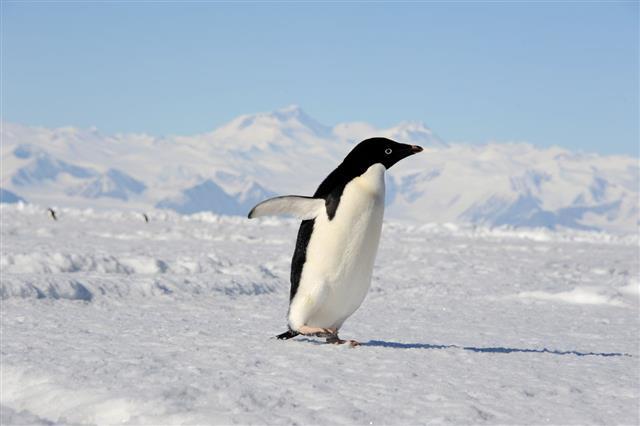 Adelie Penguin Cape Adare