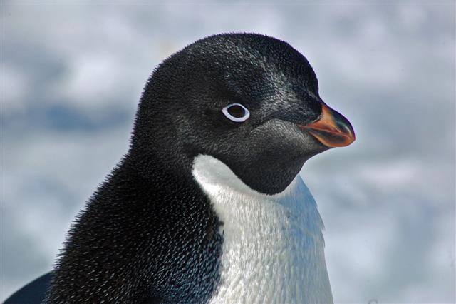 Adelie Penguin Portrait Cape Denison Antarctica