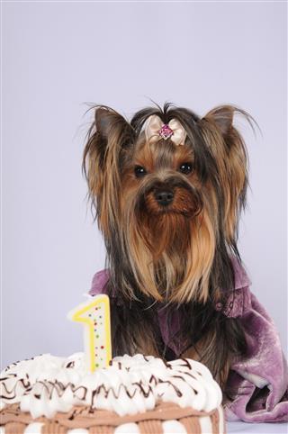 Yorkshire terrier celebrating first birthday