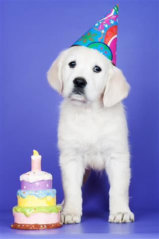 Golden retriever puppy birthday card