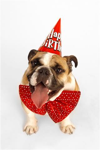 Happy Birthday Bulldog