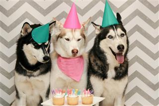 Siberian husky happy birthday