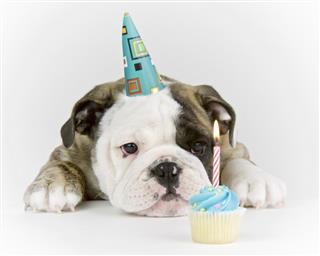 Birthday Party Bulldog