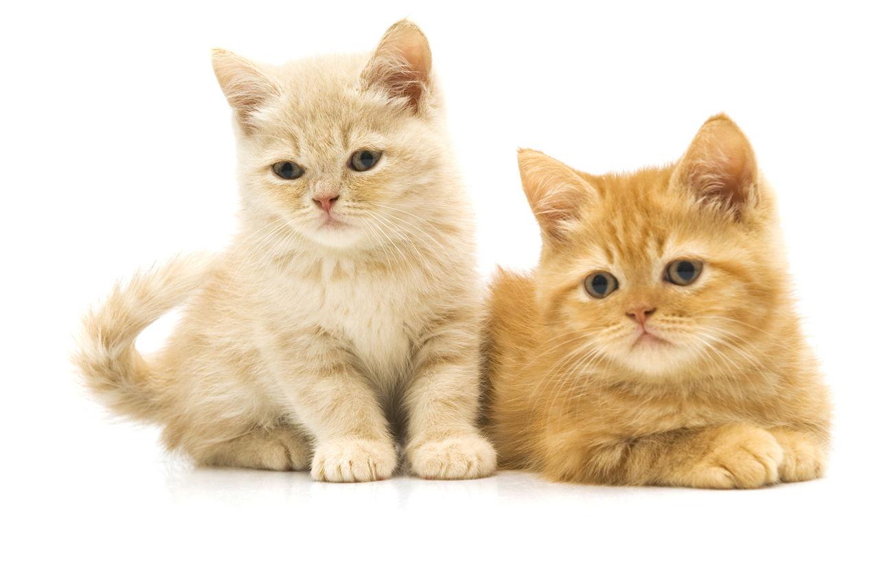 Kitten Cat Development Stages