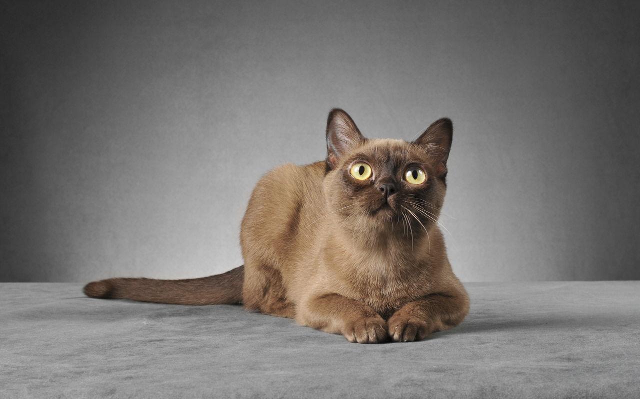 Heart Murmurs In Cats