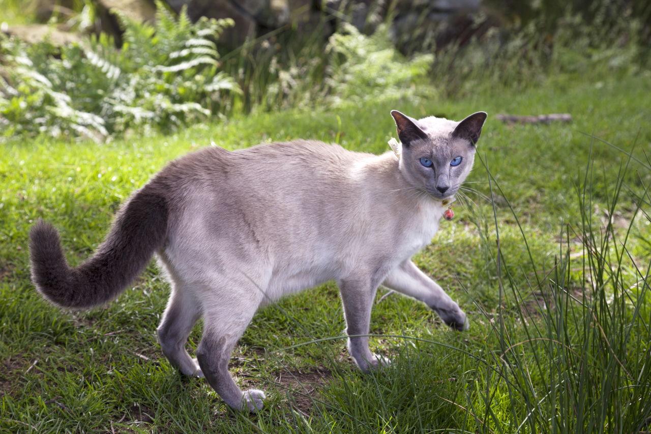 blue persian kitten for sale