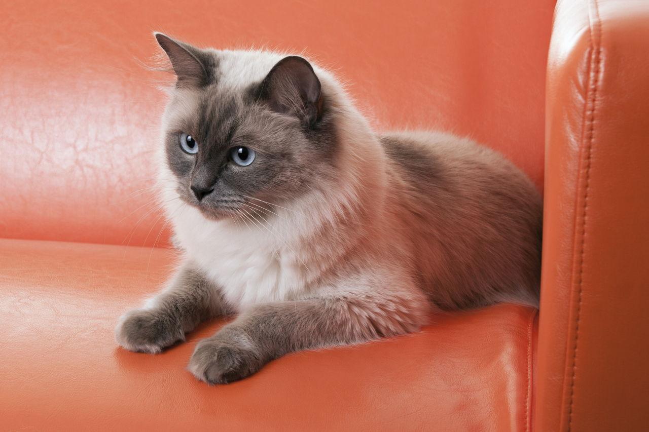1280-186921807-ragdoll-cat.jpg