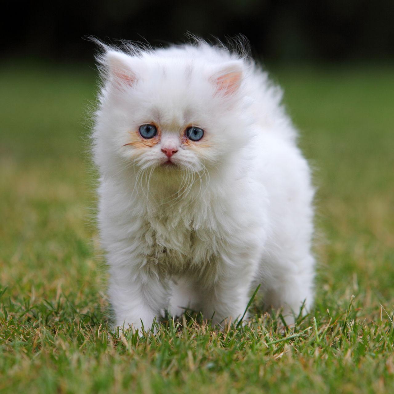 Persian Cat Names Meanings
