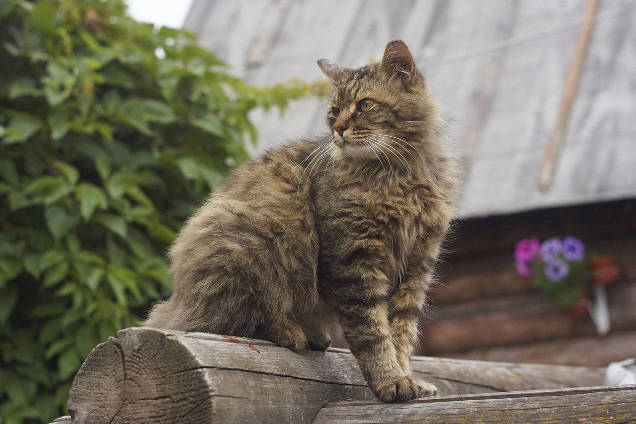 Abyssinian Male Cat
