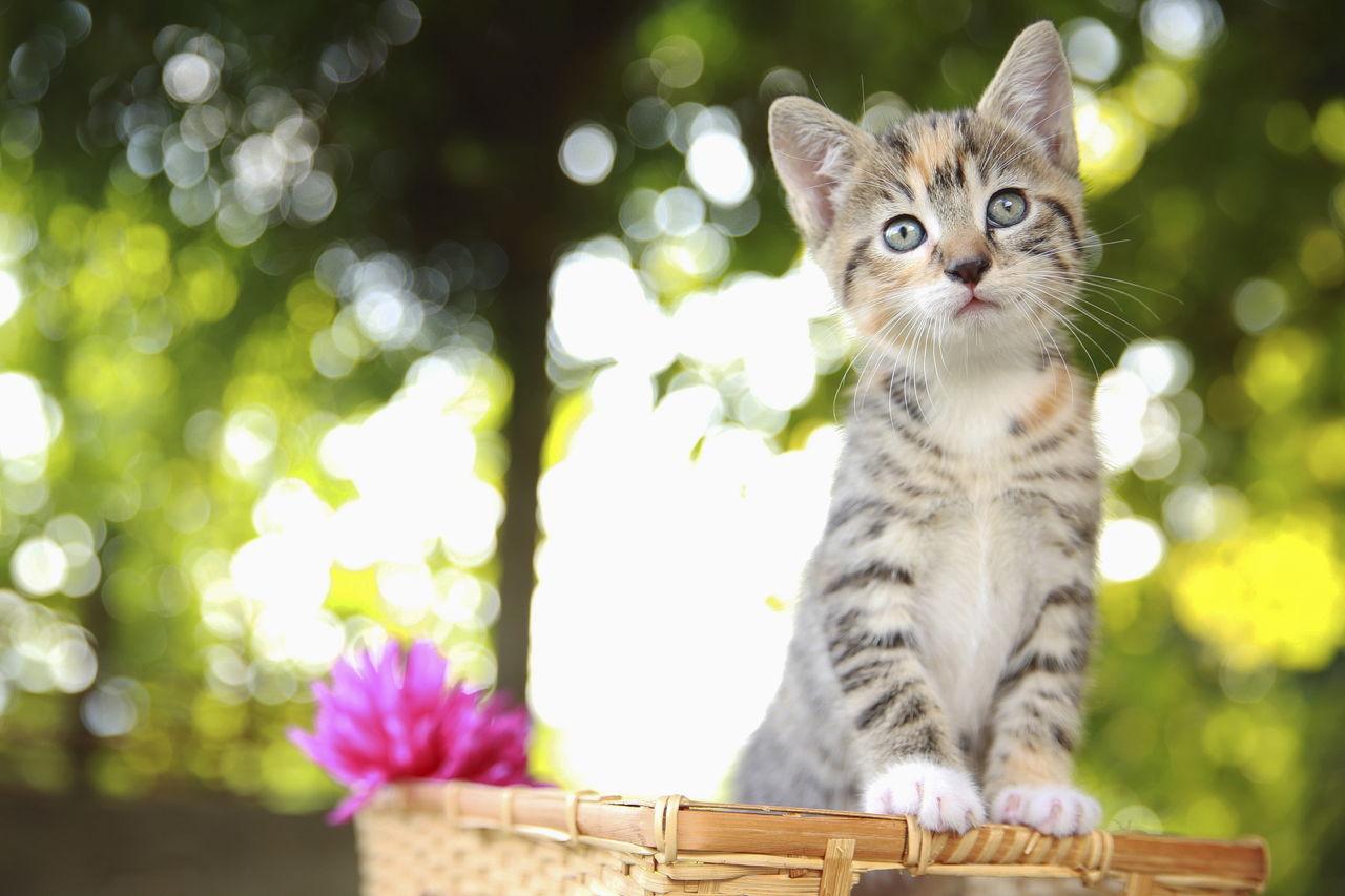 scab on cat