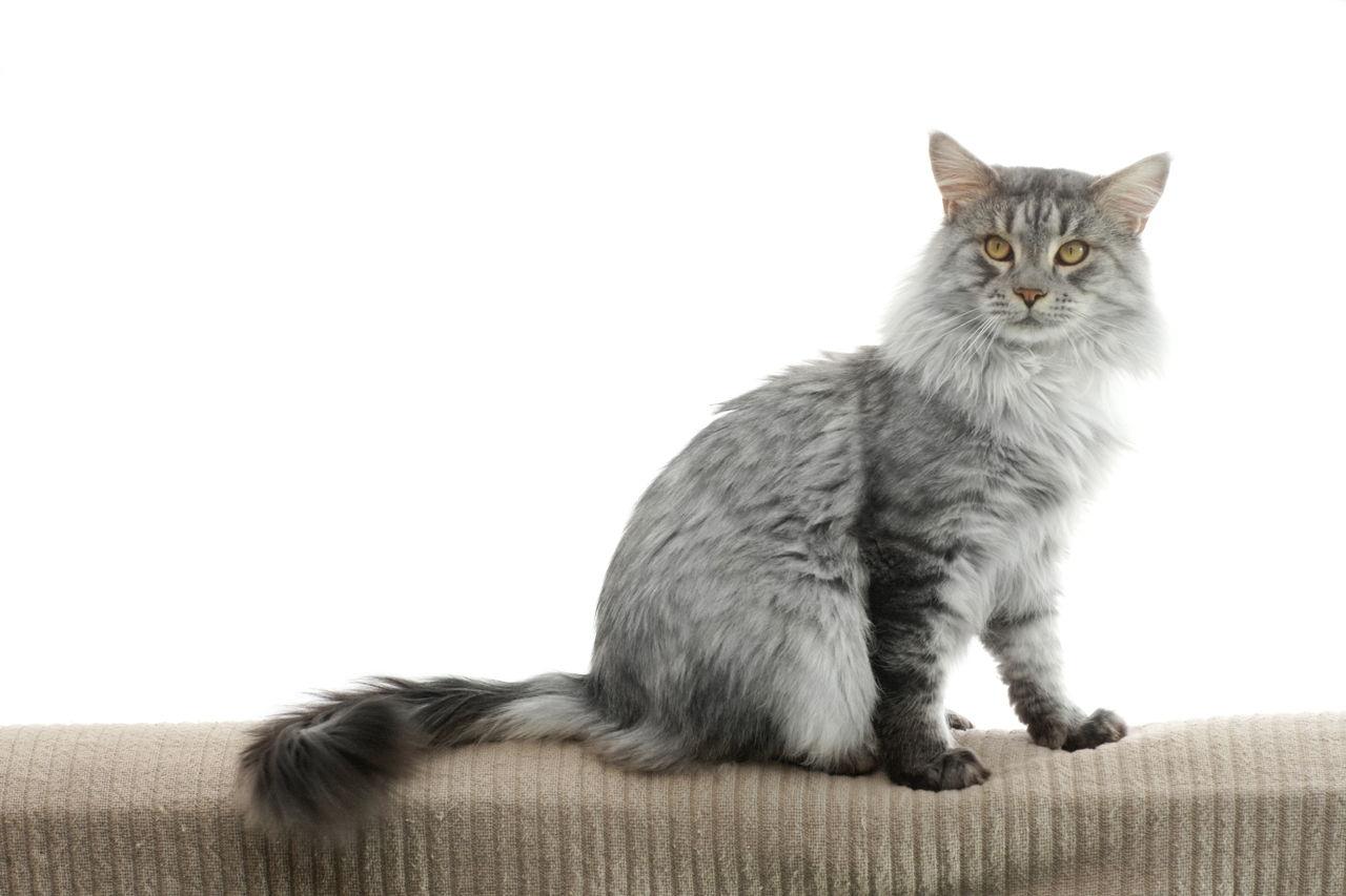 mtg cat deck standard