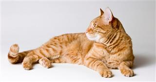Orange Tabby Cat Looking Away