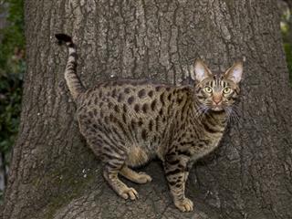Spotted Ocicat Posing