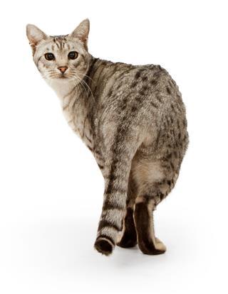 Ebony Silver Ocicat