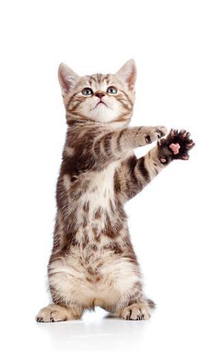 Funny Standing Playful Kitten