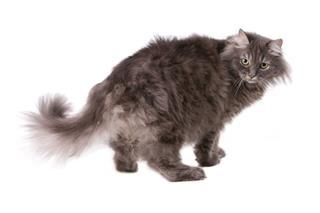 Gray Siberian Cat