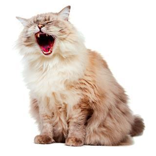 Yawning Ragdoll Cat
