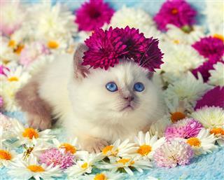 Little Siamese Kitten In Flowers