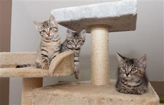Gray Tabby Kittens