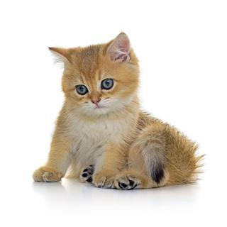 Golden Shaded Tabby Kitten
