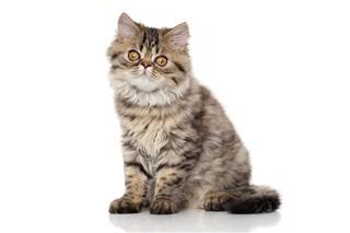 Striped Persian Cat