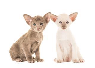 Cute Siamese Cats Sitting