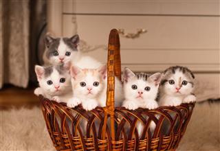 Kittens In Braided Basket