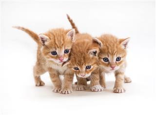 Three Ginger Kitten