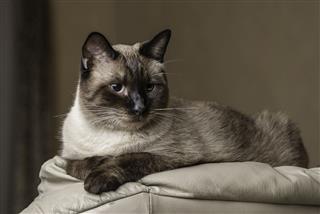 Siamese Cat Adult