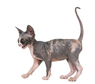 Shy Sphynx Kitten Walking