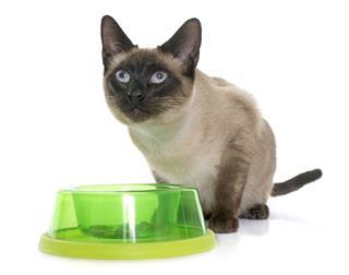 Eating Siamese Cat
