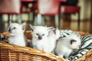 Siamese White Kittens