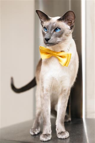 Blue Eyed Siamese Oriental Cat