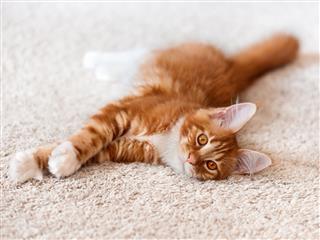 Red Maine Coon Kitten