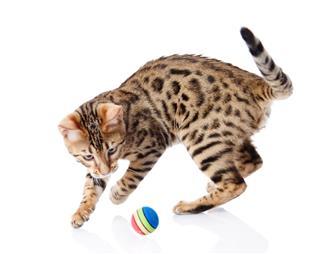 Playful Funny Kitten