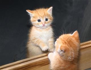 Kitten In Mirror Reflection