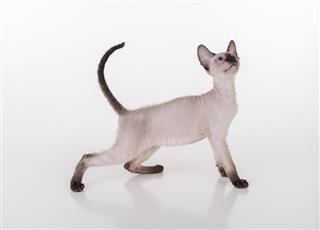 Peterbald Sphynx Cats