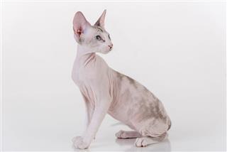 Peterbald Sphynx Cat