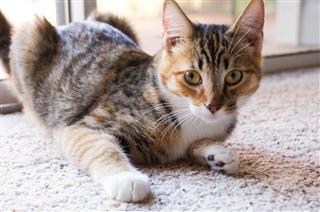 Tortoiseshell Tabby Cat