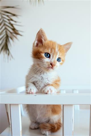 Orange White Kitten