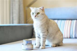 Gray Shorthair Cat