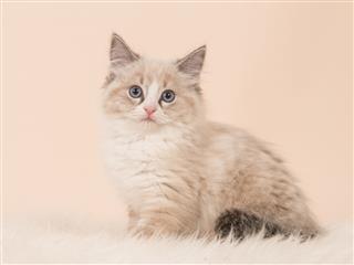 Longhair Baby Cat