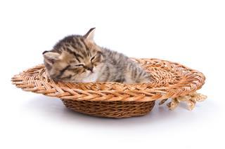 Funny Kitten British Cat