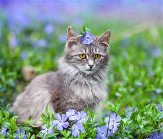 Cute Siberian Cat Lying