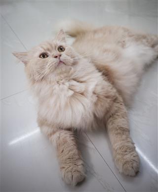 Persian Adorable Cat