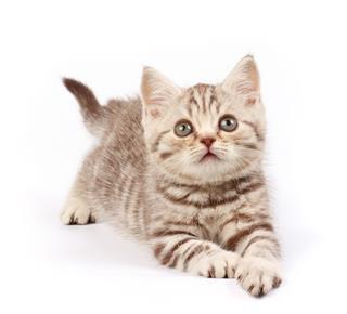 Brown Small Tabby Kitten
