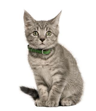 European Kitten